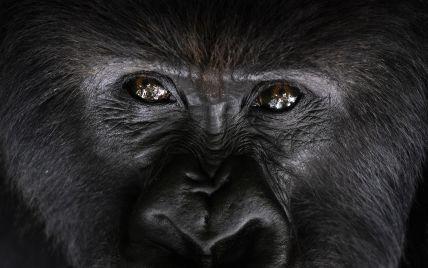 Впервые в мире: в США коронавирусом заразились гориллы из зоопарка в Сан-Диего