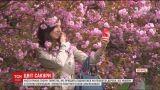Туристы с февраля начали бронировать жилье в Ужгороде, чтобы увидеть цветение сотен сакур