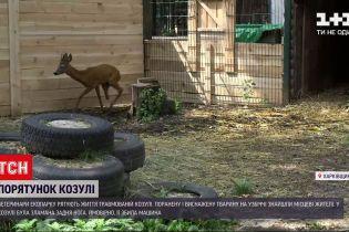 Новини України: у Харківській області рятують життя травмованої козулі