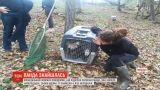 До французького зоопарку повернули червону панду, яка напередодні зникла з клітки