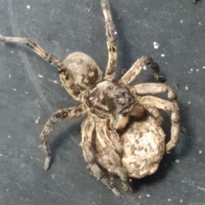 Самиці стрибають на людей: у Дніпрі активізувалися отруйні павуки