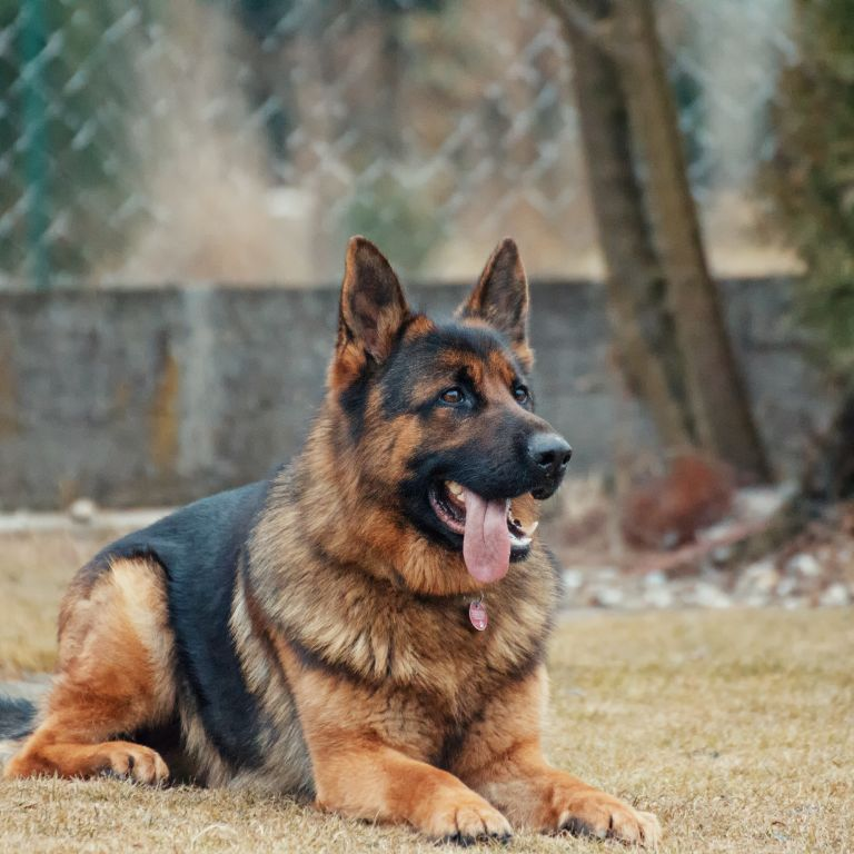 Майже з точністю ПЛР-тестів: собаки можуть розпізнати інфікованих коронавірусом