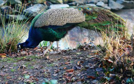 У Миколаєві через мор павичів від пташиного грипу закрили на карантин зоопарк