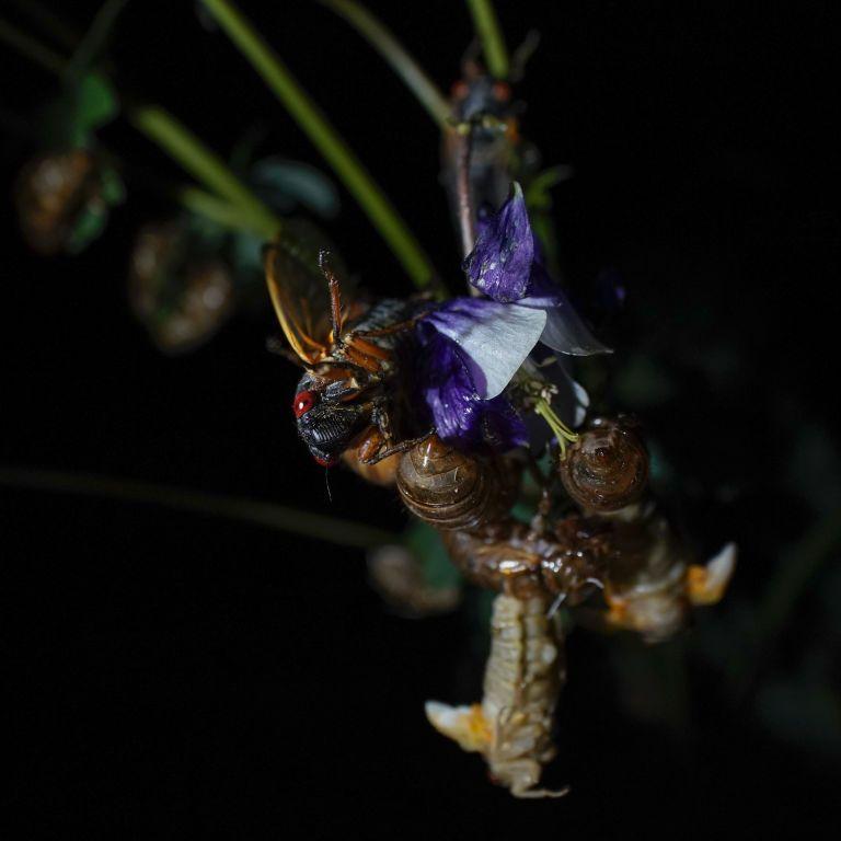 Вперше за 17 років у США з-під землі вибралися мільярди цикад (фото, відео)