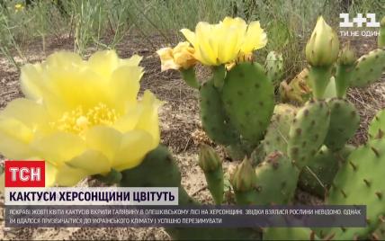 В Олешковском лесу обильно зацвели кактусы, которые разрослись там при загадочных обстоятельствах