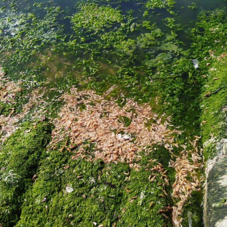 Под Одессой на берег выбросило тысячи мертвых креветок: в чем причина