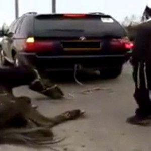 В Умани живодеры привязали лошадь к BMW X5 и на скорости тащили ее по трассе