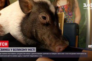Новости Украины: по улицам столицы разгуливает свинка на поводке