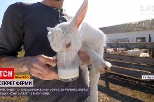 """Спецпроєкт """"Секрет ферми"""": як утримують кіз, щоб мати з цього прибуток"""