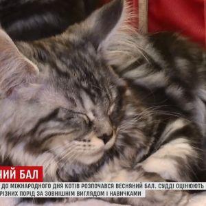 Весняний бал котів у Києві покаже українцям рідкісні породи чотирилапих