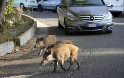 В Риме начали отлавливать диких кабанов, которые терроризируют город