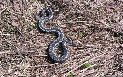 Собирала ягоды в лесу: в Житомирской области змея укусила девушку