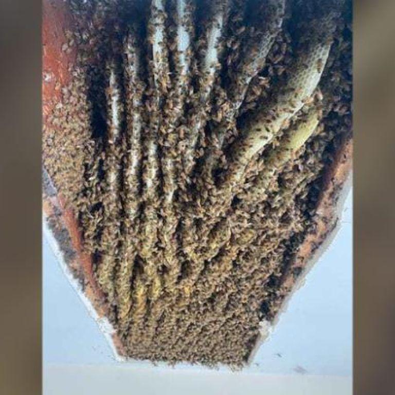 Мешканка Джорджії виявила в своєму будинку 100 тисяч бджіл (відео)