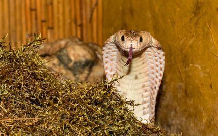 В Египте кобра выползла из коробки и убила пять человек