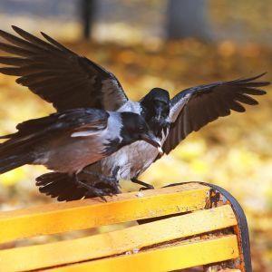Вороны взбесились: почему крылатые нападают и терроризируют киевлян