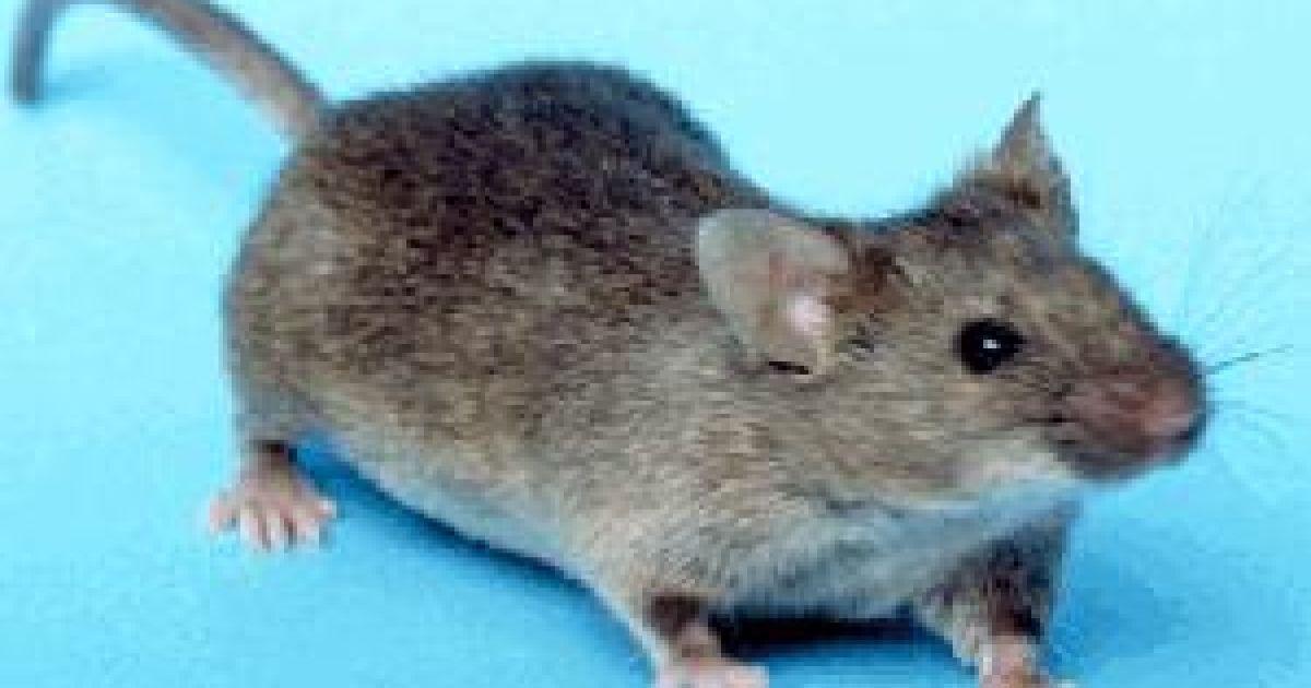 Ученым удалось превратили мышь в безжалостного зомби-убийцу — Наука и IT —  tsn.ua