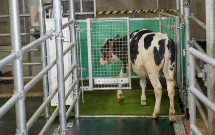 Немецких коров приучили пользоваться туалетом: это должно уменьшить выбросы парниковых газов