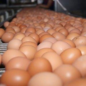Из-за птичьего гриппа в Украине могут резко упасть цены на яйца