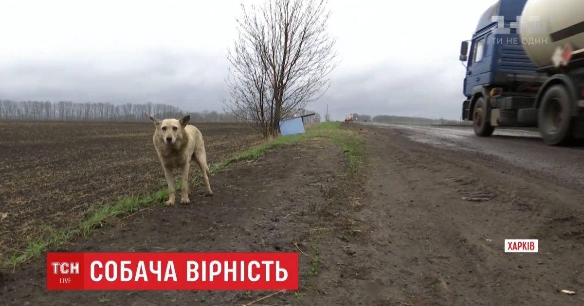 Хатіко по-покровськи. Пес, якого викинули на дорозі, вже рік чекає на господарів