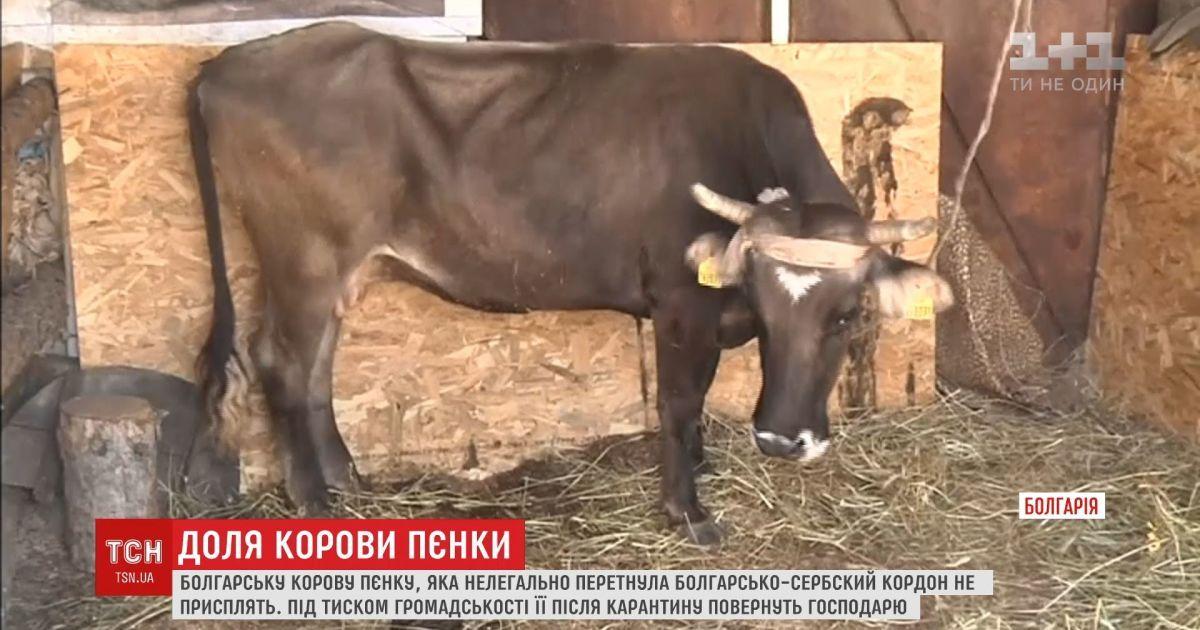 Болгарську корову Пєнку, яка нелегально перетнула кордон, не присплять