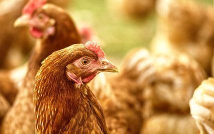 Под Киевом обнаружили птичий грипп: сразу в нескольких поселках ввели карантин