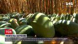 Новости мира: в Египте из-за черного грибка урожай манго - под угрозой