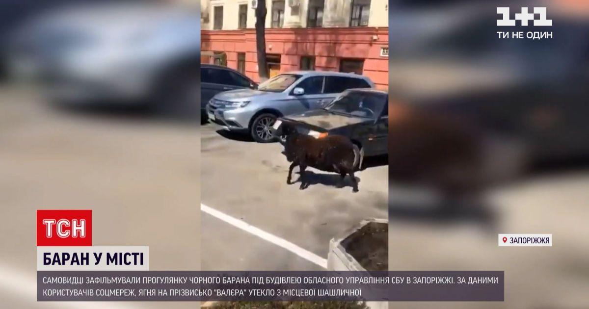 Новости Украины: черный барашек разгуливал под областным управлением СБУ в Запорожье