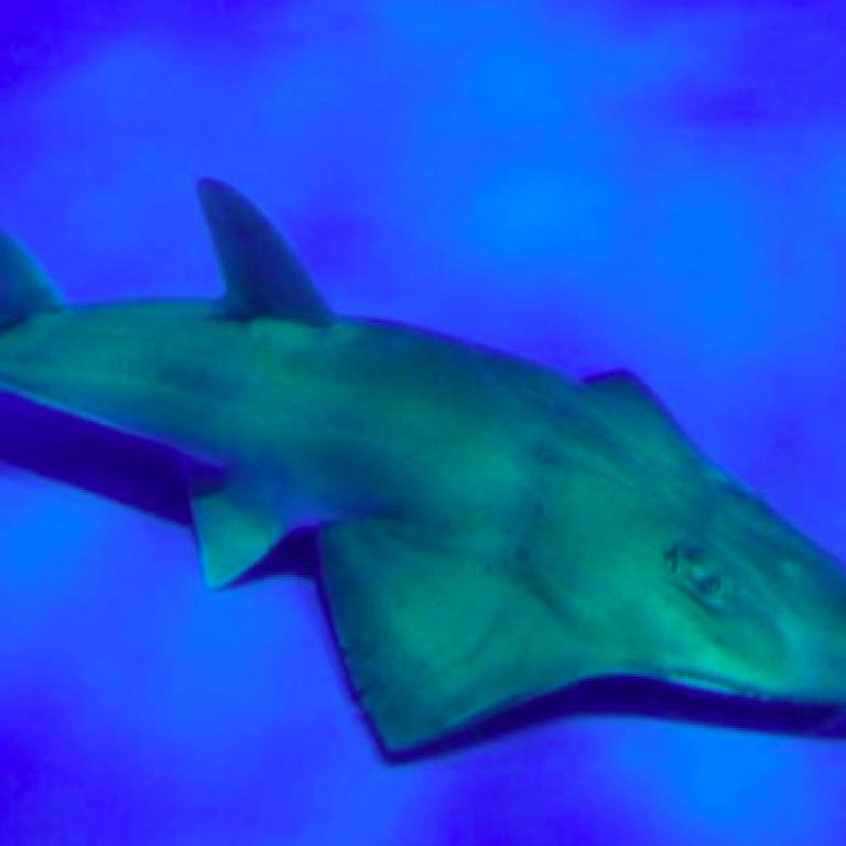 Під носом у дослідників: в японському акваріумі раптово знайшли новий вид риб