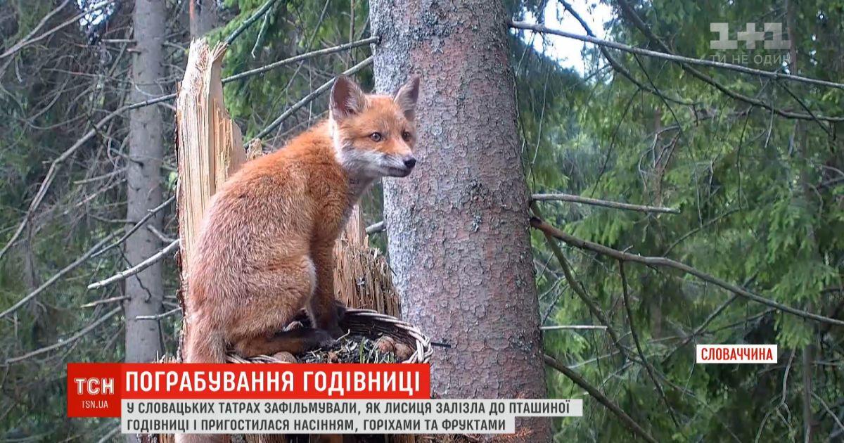 Рыжая воровка: в словацких Татрах лиса забралась в птичью кормушку