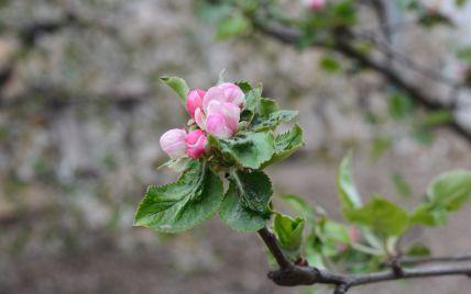 Природная аномалия: в Николаевской области среди декабре зацвели яблони