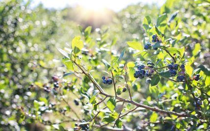 Німецькі дослідники назвали ягоди, які здатні знижувати активність коронавірусу