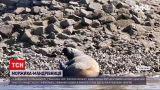 Новини світу: на німецькому острові Бальтрум у Північному морі помітили моржиха-мандрівниця