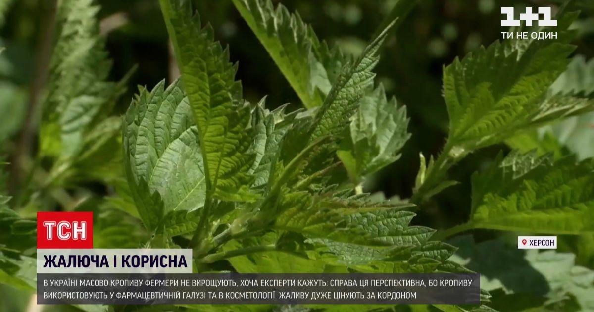 Новости Украины: сколько можно заработать на выращивании крапивы, и что из нее можно приготовить