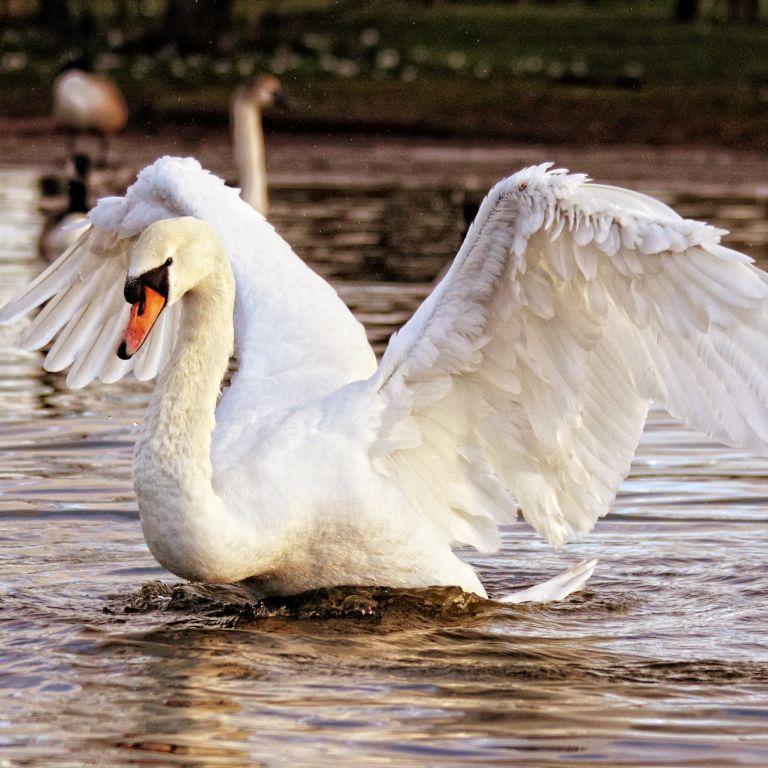На Темзе начался ежегодный перерасчет королевских лебедей: зачем он нужен