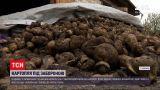 Новини України: на Волині у врожаю картоплі виявили рак – чим небезпечні такі овочі