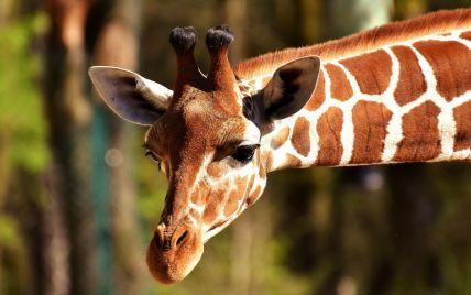 Два вида жирафов попали в перечень животных под угрозой вымирания