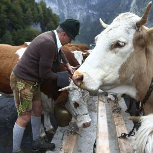 На вакцинацию от COVID-19 в Таиланде заманивают золотом и коровами