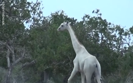 Камеры впервые в истории сняли семью жирафов-альбиносов