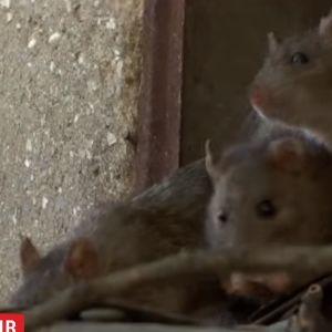 В центре Одессы десятки семей страдают от нашествия крыс