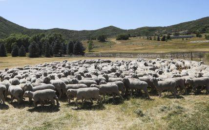 Молния в горах Грузии попала в стадо овец: пол тысячи животных погибли
