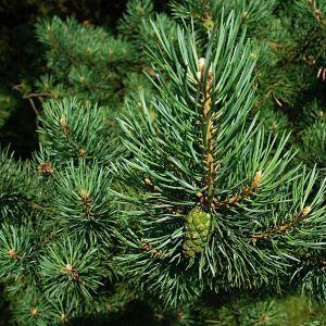 Свято наближається: в Україні розпочався продаж новорічних ялинок