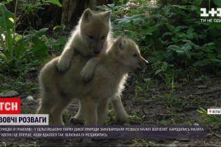 Новости мира: в бельгийском парке дикой природы сняли на видео развлечения маленьких волчат