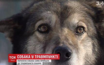 Удивительный пациент: в Киеве травмированный пес из последних сил дополз до приемного отделения больницы