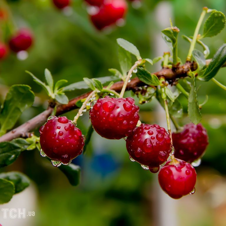 Рясні дощі та грибні хвороби плодових рослин: як врятувати сад від надмірної вологи
