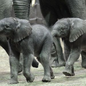 В кенийской парка рекордный бэби-бум: родилось более 200 слонят