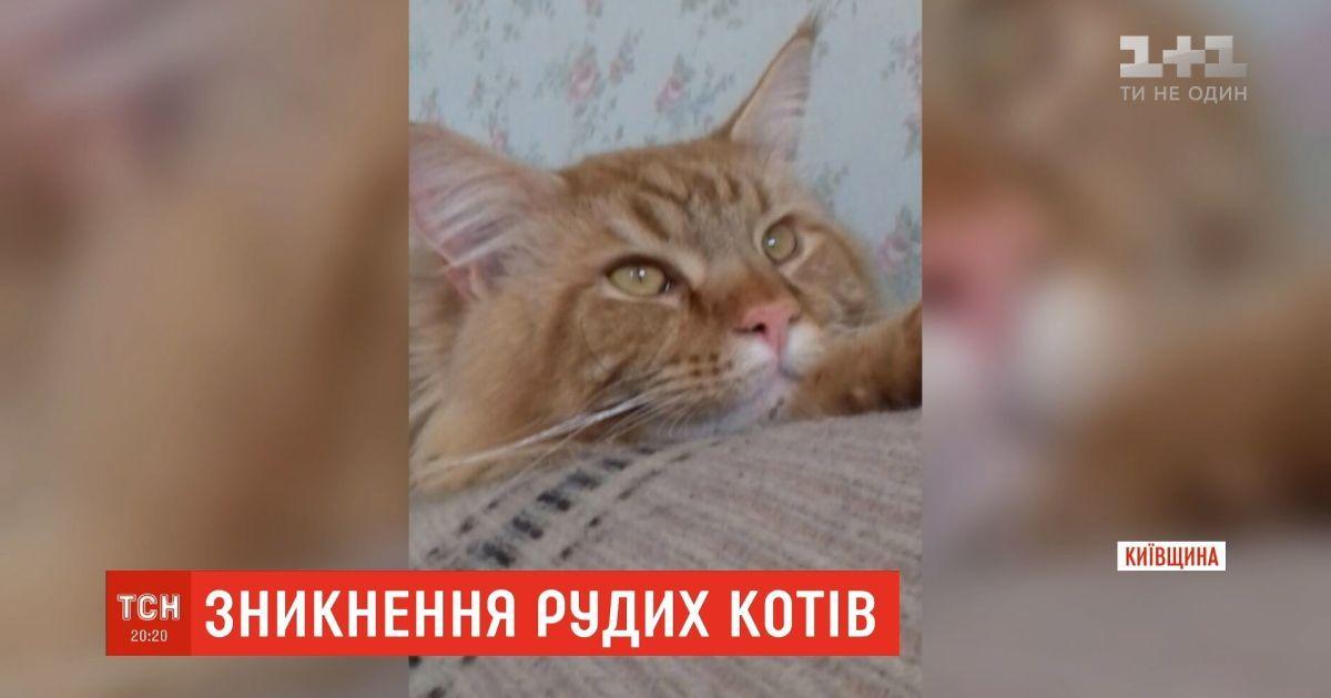 На Київщині почали зникати молоді руді мейн-куни