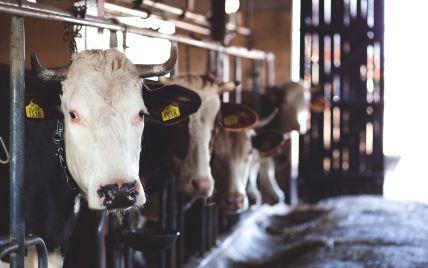Утримання корів стало невигідним в Україні:у Мінагрополітики анонсували грошову підтримку фермерам