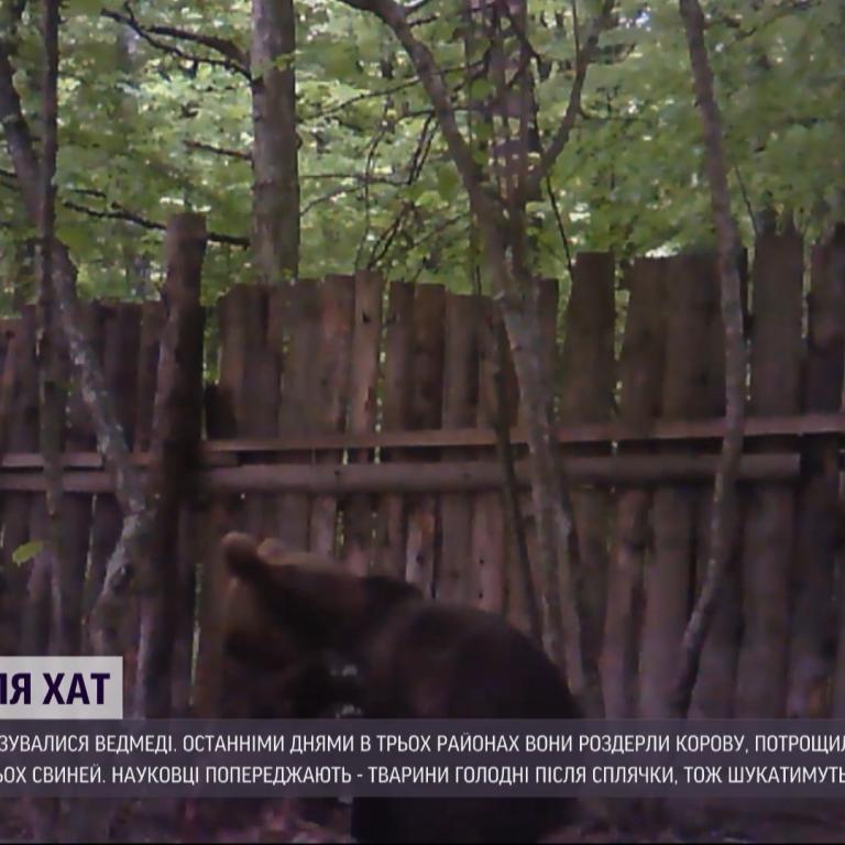 Бурого ведмедя помітили під Івано-Франківськом: науковці попереджають про нашестя хижака
