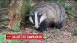 Барсучий террор: в Винницкой области от хищников страдают не только животные, но и люди
