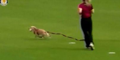 В Британии кокер-спаниель выбежал на поле во время матча по крикету и забрал мяч
